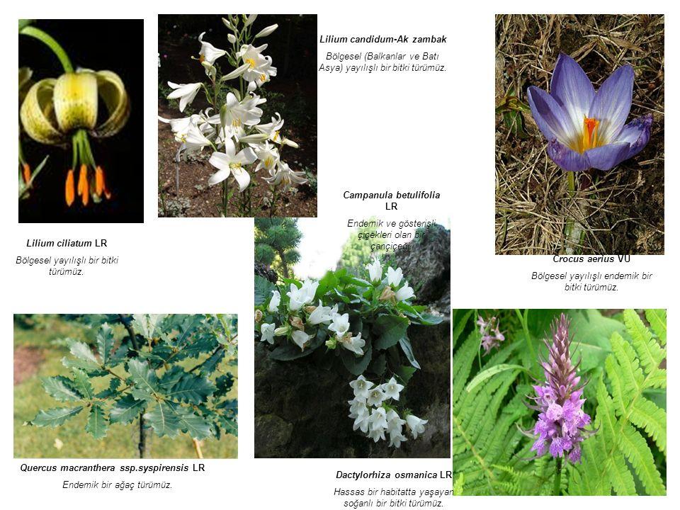Lilium candidum-Ak zambak