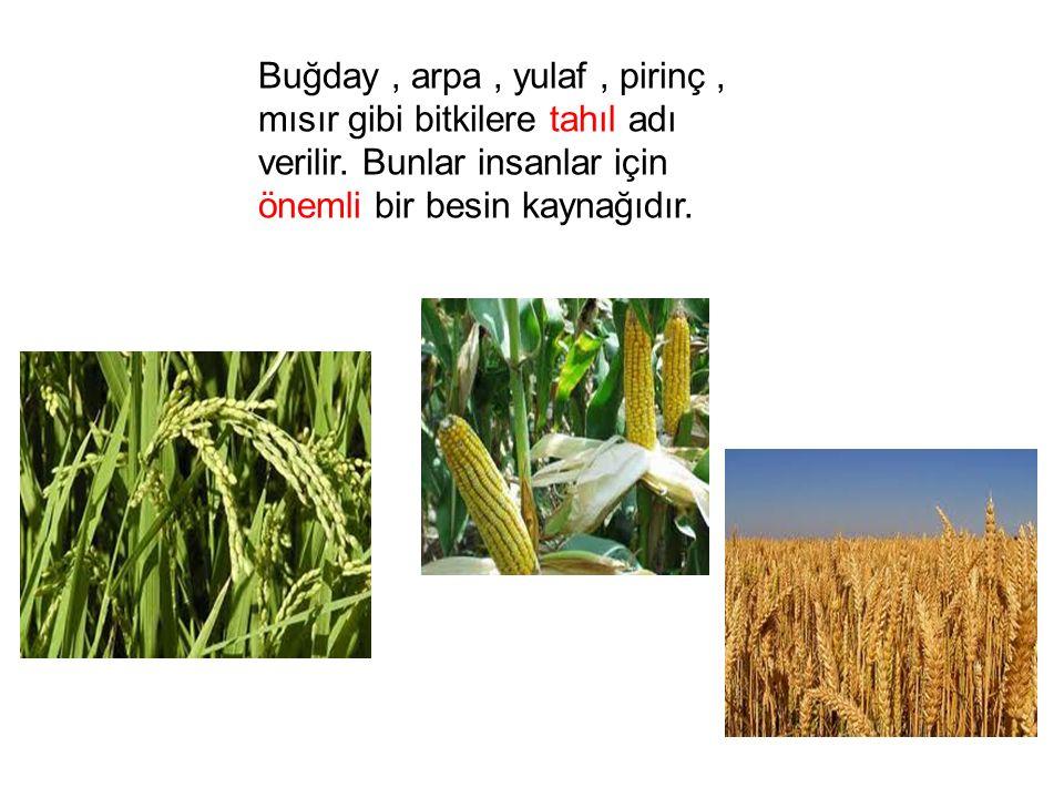 Buğday , arpa , yulaf , pirinç , mısır gibi bitkilere tahıl adı verilir.
