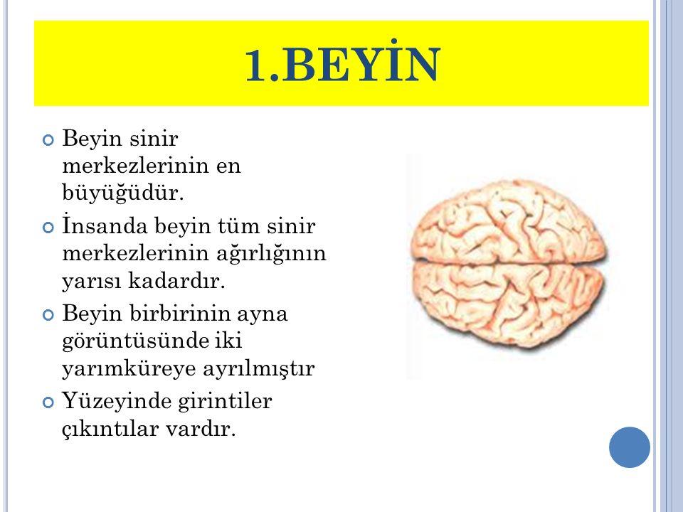 1.BEYİN Beyin sinir merkezlerinin en büyüğüdür.