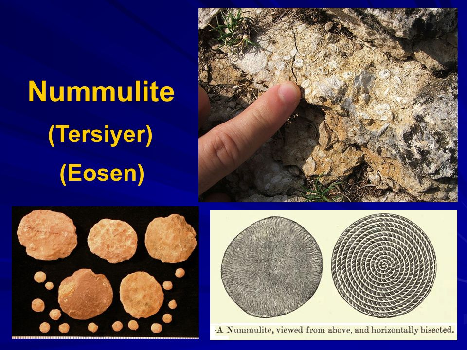 Nummulite (Tersiyer) (Eosen)