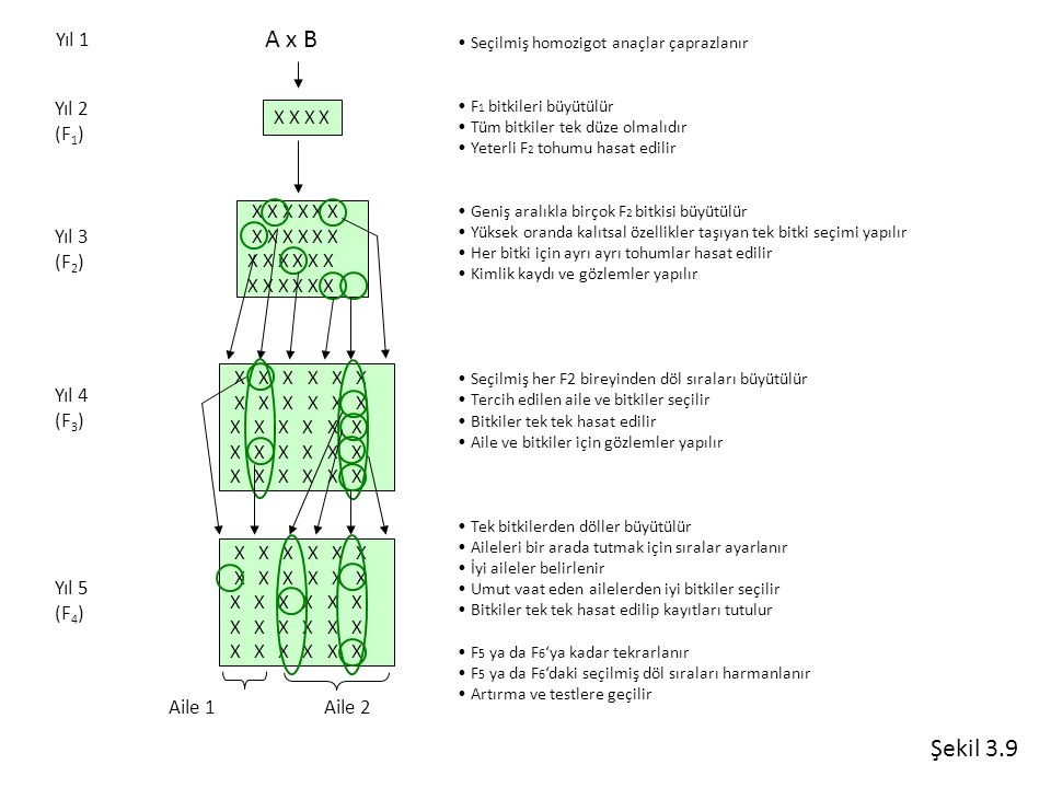 A x B Şekil 3.9 Yıl 1 Yıl 2 (F1) X X X X X X X X X X Yıl 3 (F2)