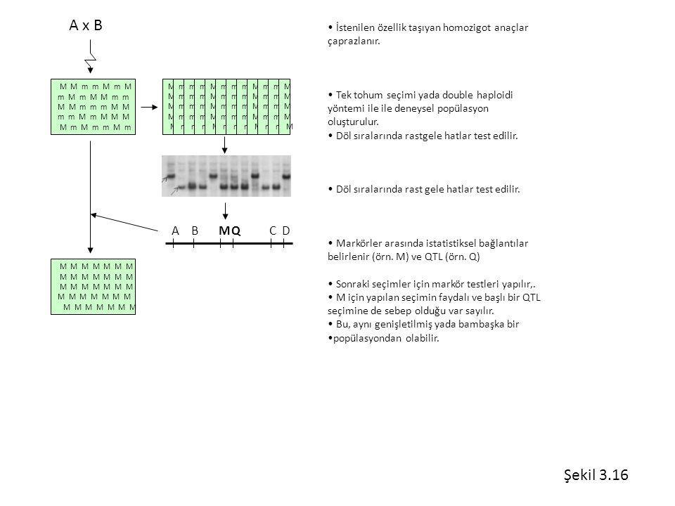 A x B İstenilen özellik taşıyan homozigot anaçlar. çaprazlanır. Tek tohum seçimi yada double haploidi.