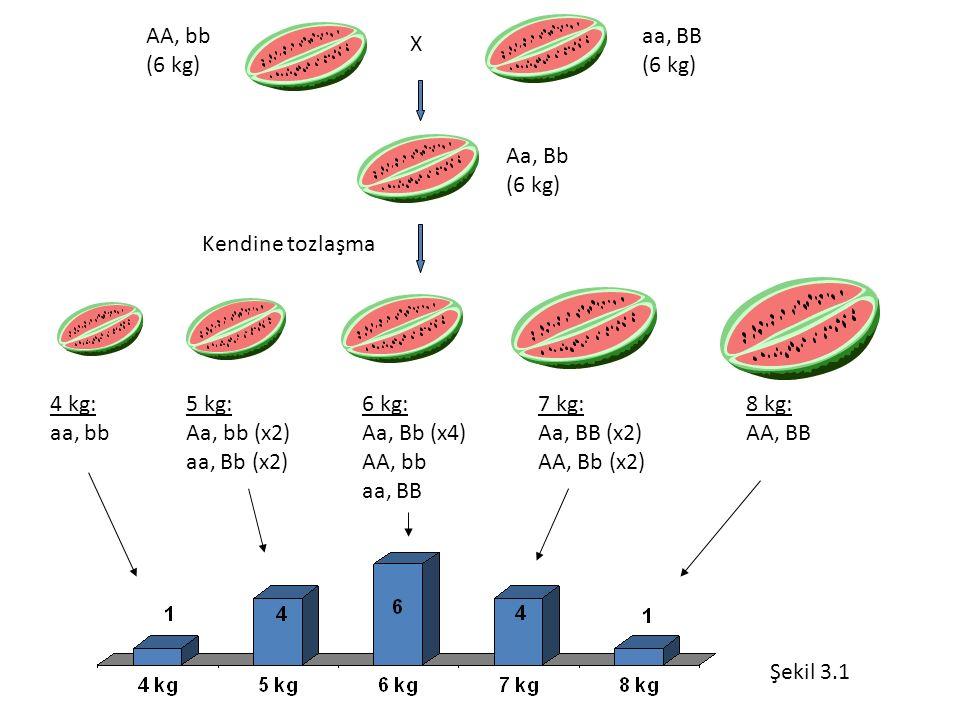 AA, bb (6 kg) aa, BB. (6 kg) X. Aa, Bb. (6 kg) Kendine tozlaşma. 4 kg: aa, bb. 5 kg: Aa, bb (x2)