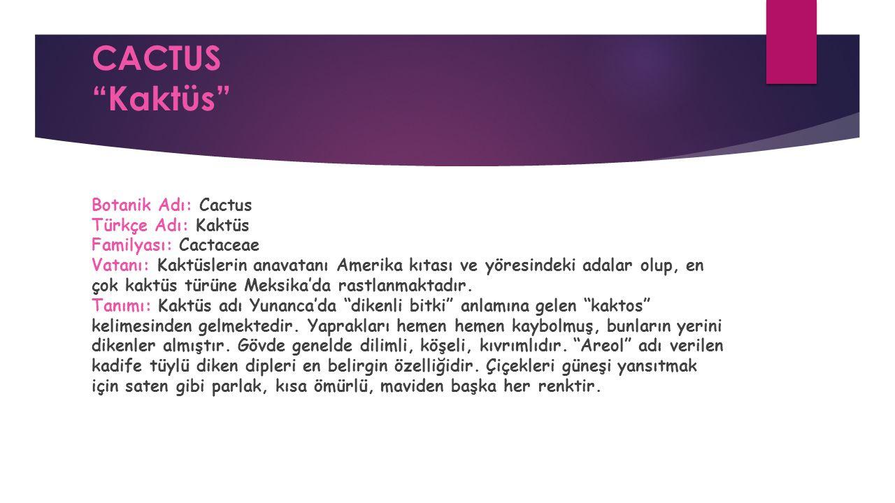 CACTUS Kaktüs