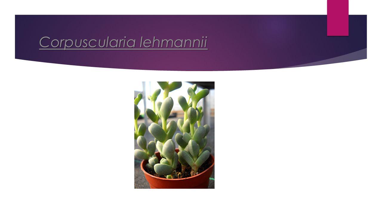 Corpuscularia lehmannii