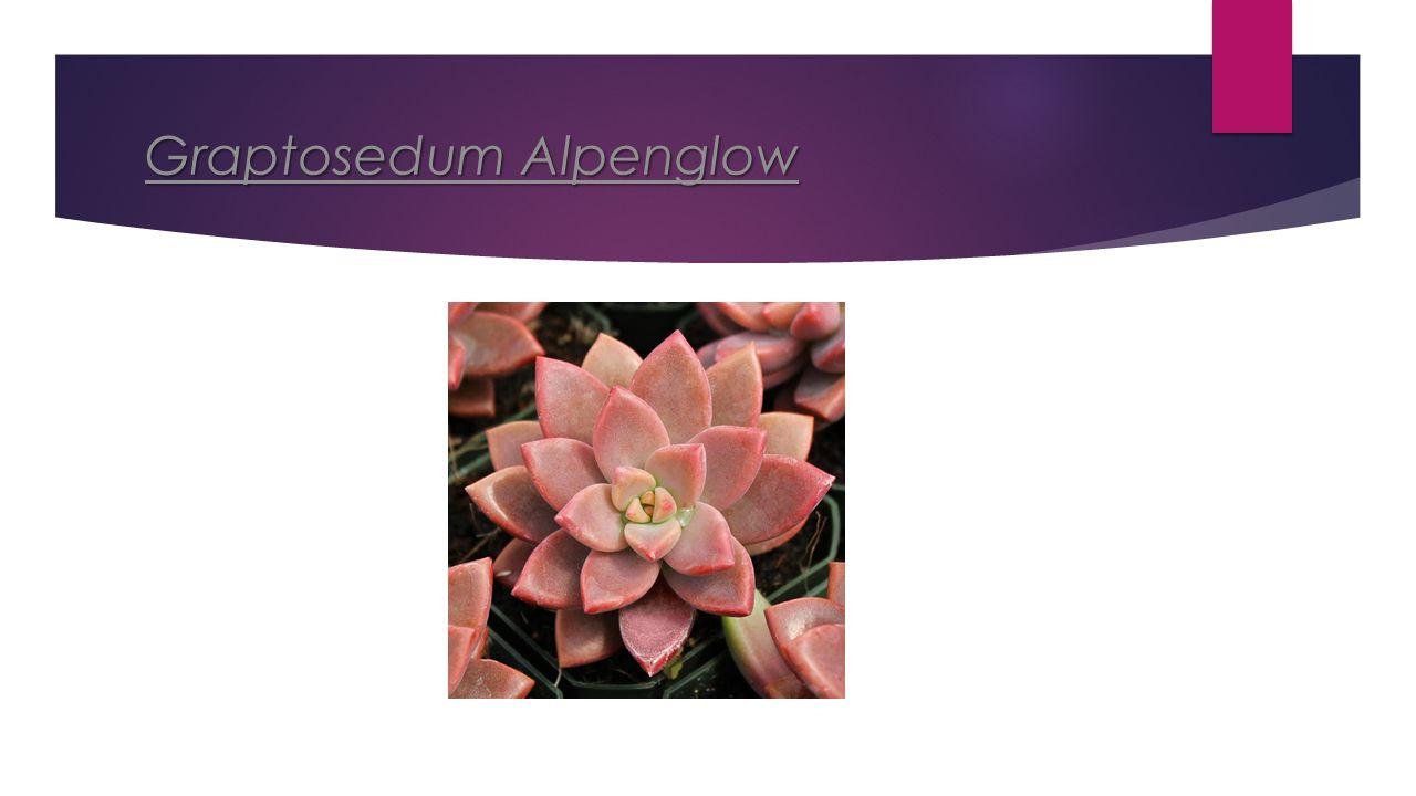 Graptosedum Alpenglow