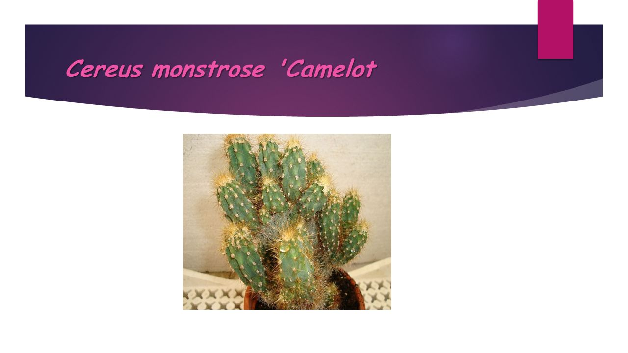 Cereus monstrose Camelot