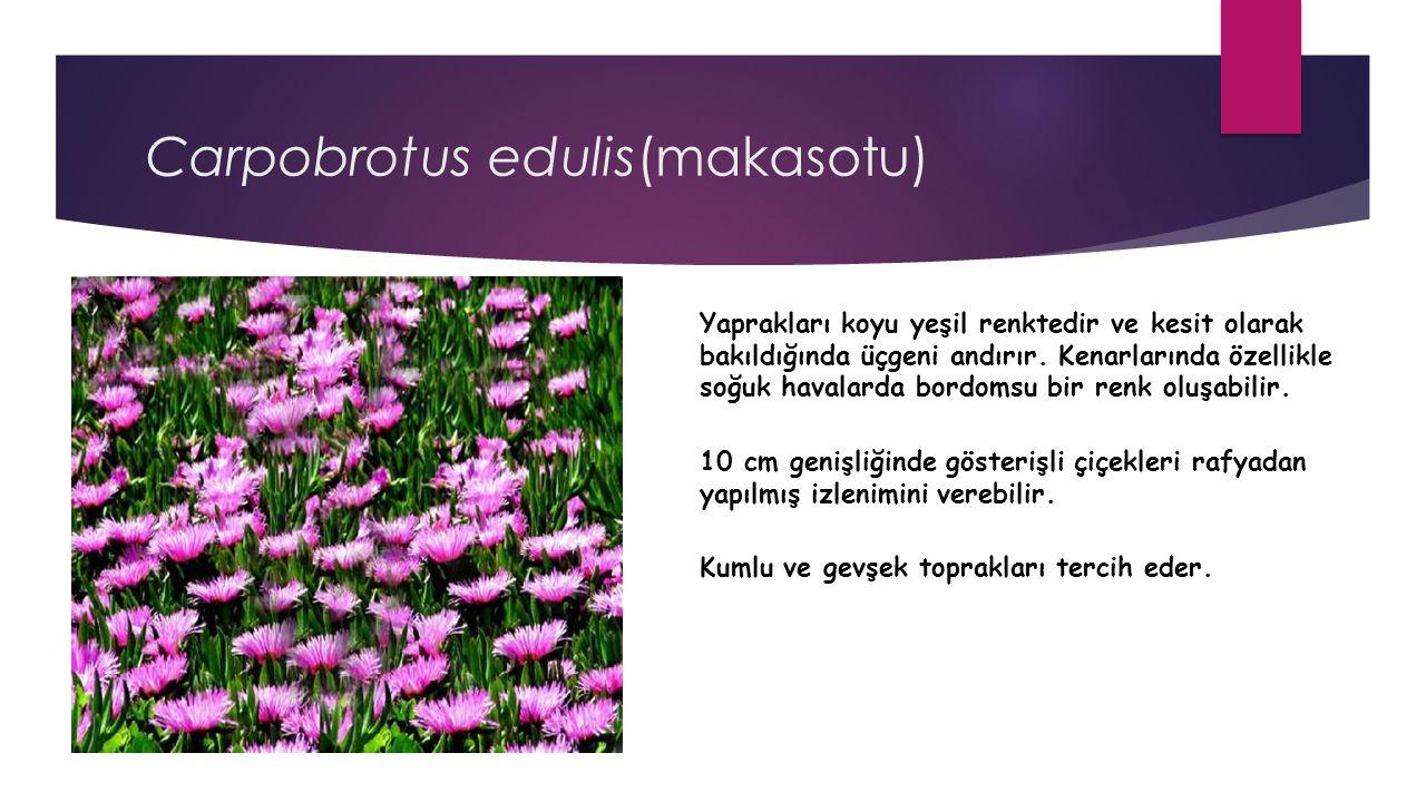 Carpobrotus edulis(makasotu)