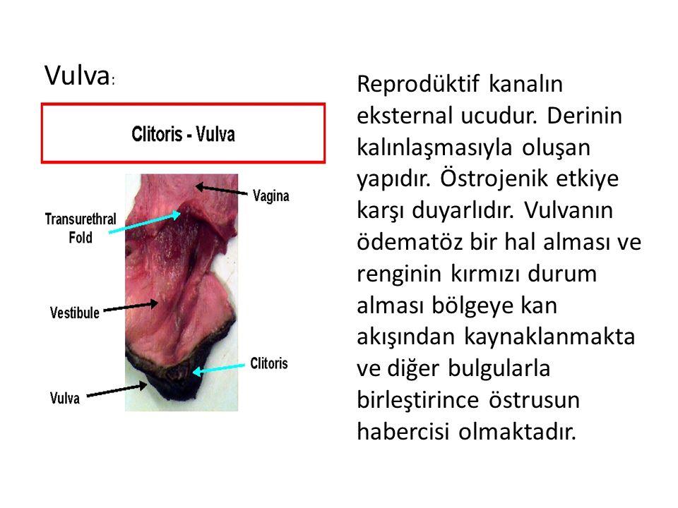 Vulva;