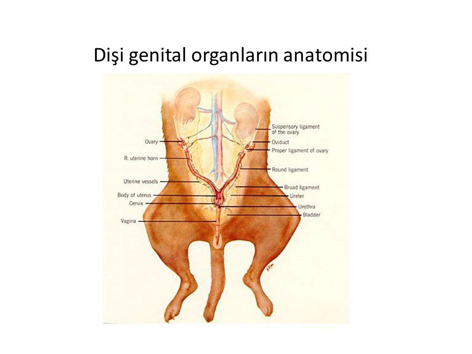 Dişi genital organların anatomisi