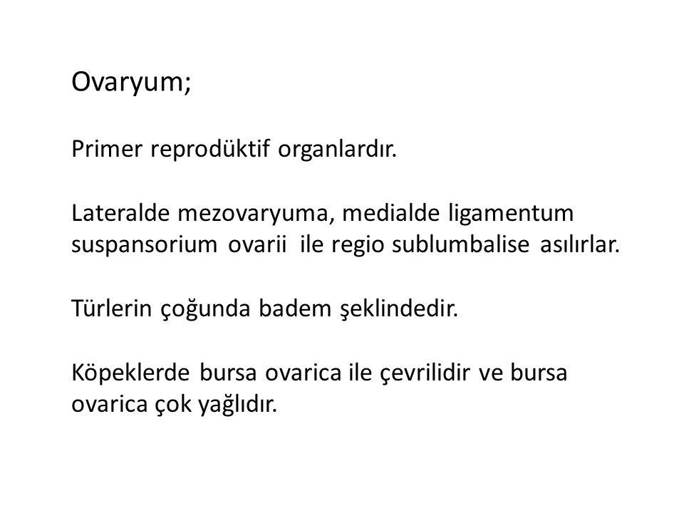 Ovaryum; Primer reprodüktif organlardır.