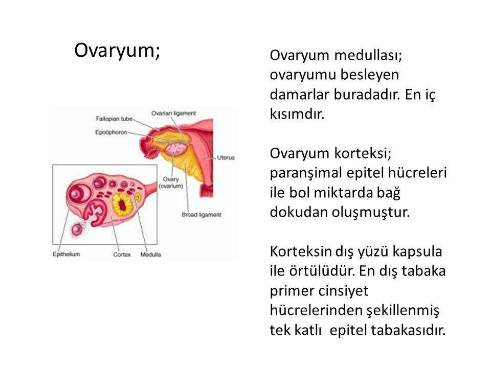 Ovaryum; Ovaryum medullası; ovaryumu besleyen damarlar buradadır. En iç kısımdır.