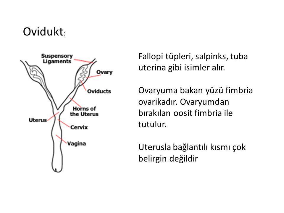 Ovidukt; Fallopi tüpleri, salpinks, tuba uterina gibi isimler alır.