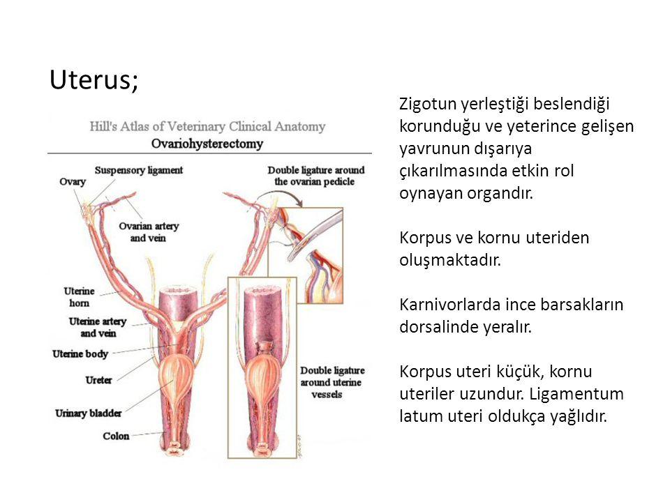 Uterus; Zigotun yerleştiği beslendiği korunduğu ve yeterince gelişen yavrunun dışarıya çıkarılmasında etkin rol oynayan organdır.