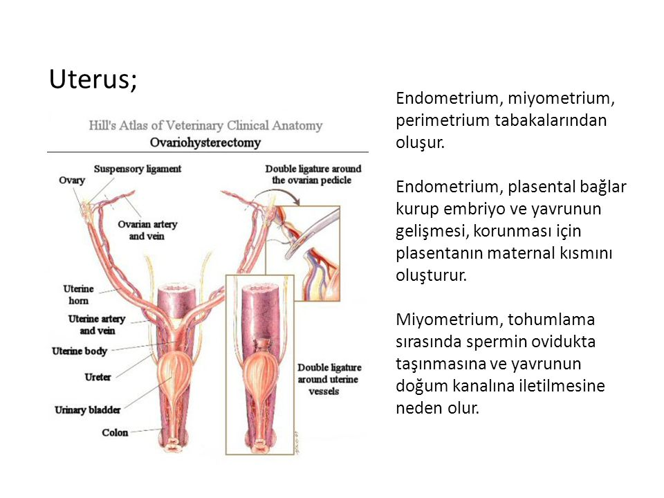 Uterus; Endometrium, miyometrium, perimetrium tabakalarından oluşur.