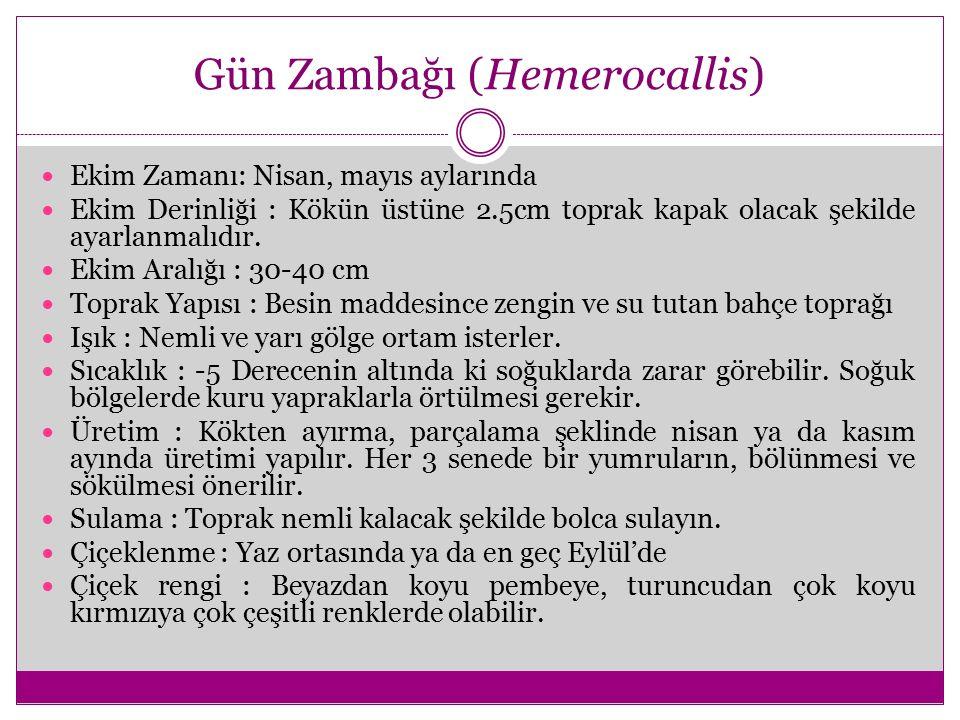Gün Zambağı (Hemerocallis)