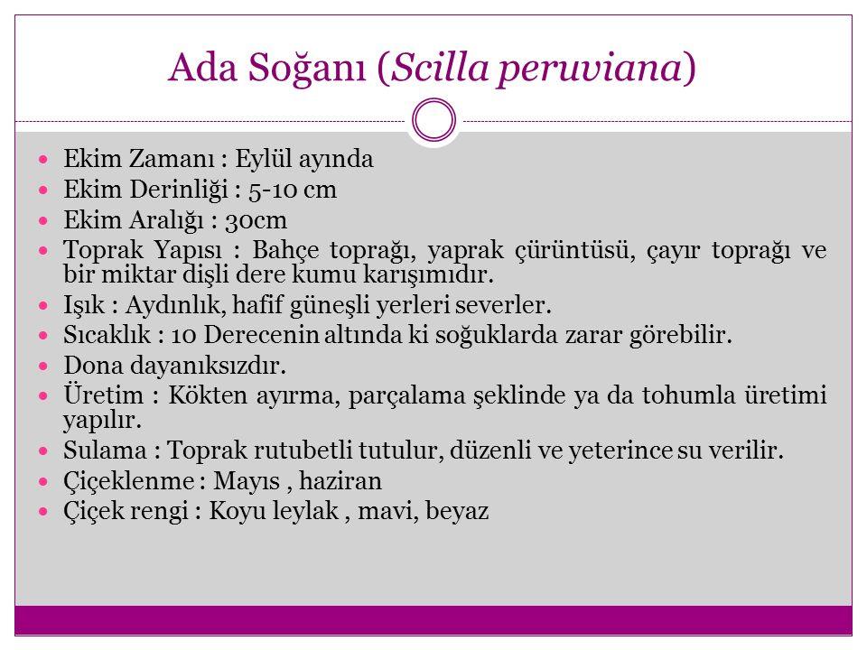 Ada Soğanı (Scilla peruviana)