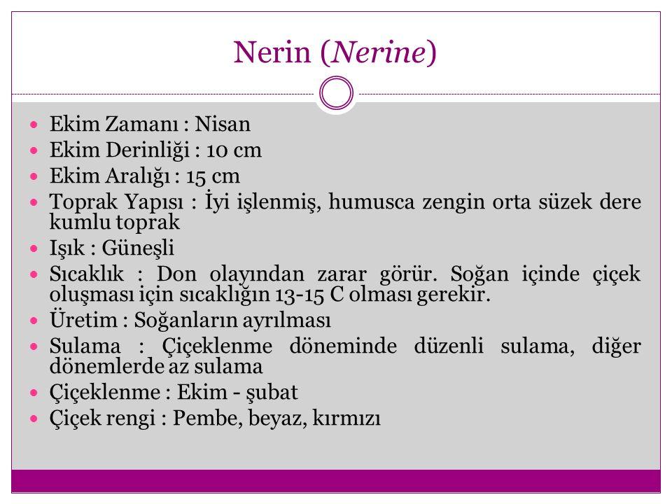 Nerin (Nerine) Ekim Zamanı : Nisan Ekim Derinliği : 10 cm