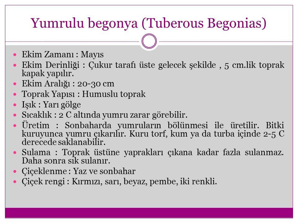 Yumrulu begonya (Tuberous Begonias)