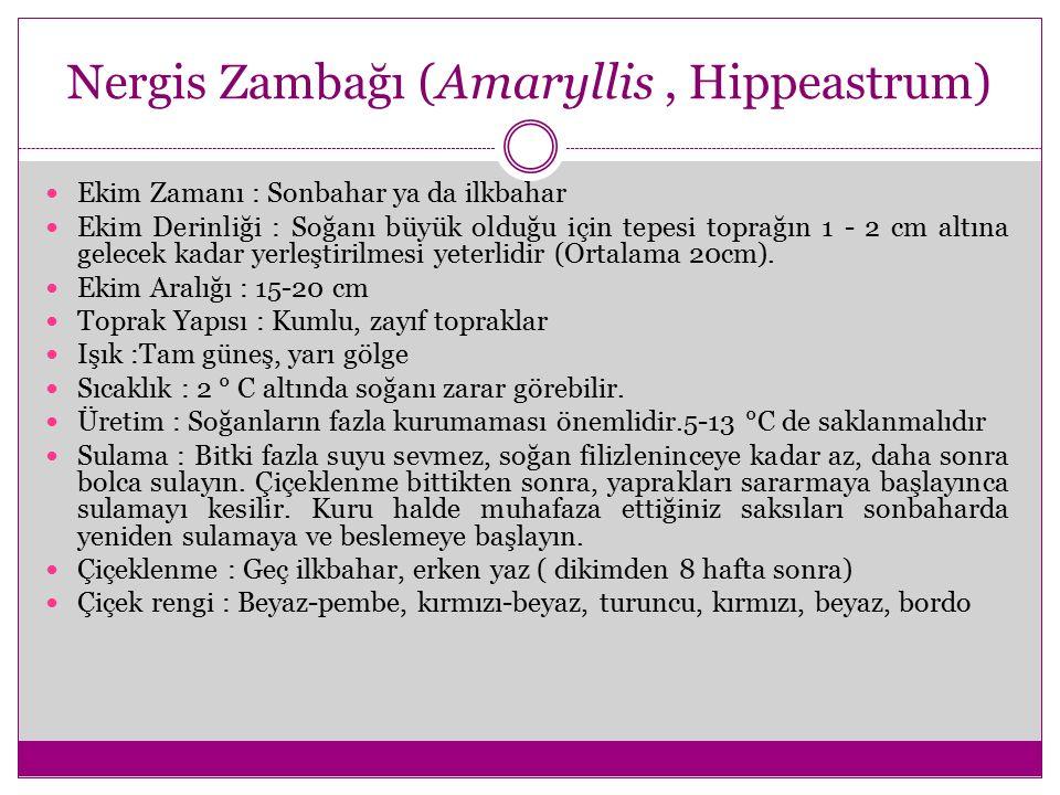 Nergis Zambağı (Amaryllis , Hippeastrum)