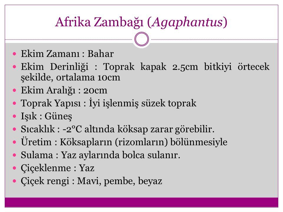 Afrika Zambağı (Agaphantus)