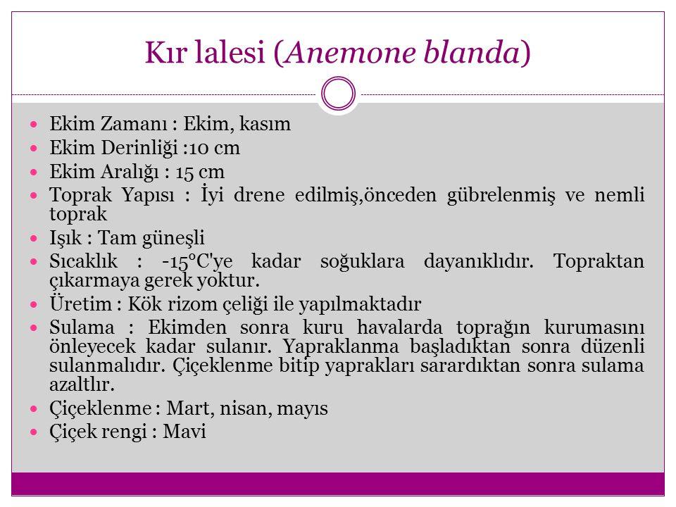 Kır lalesi (Anemone blanda)