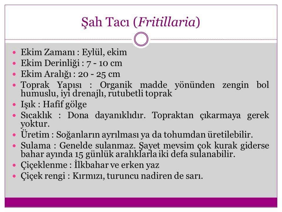 Şah Tacı (Fritillaria)