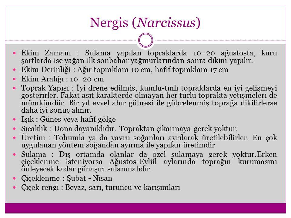 Nergis (Narcissus)