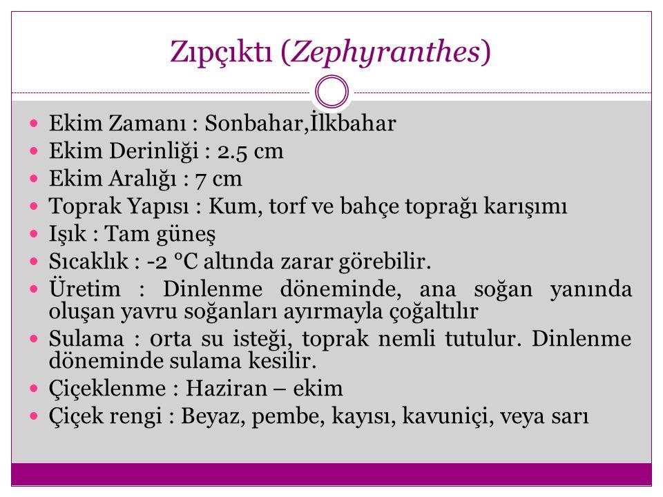 Zıpçıktı (Zephyranthes)