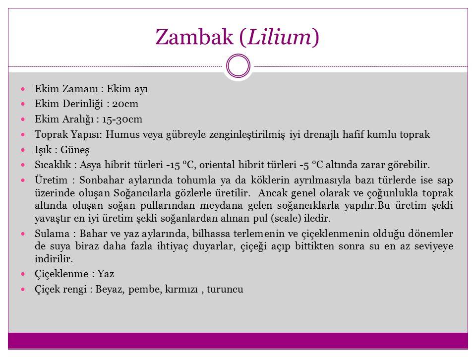 Zambak (Lilium) Ekim Zamanı : Ekim ayı Ekim Derinliği : 20cm