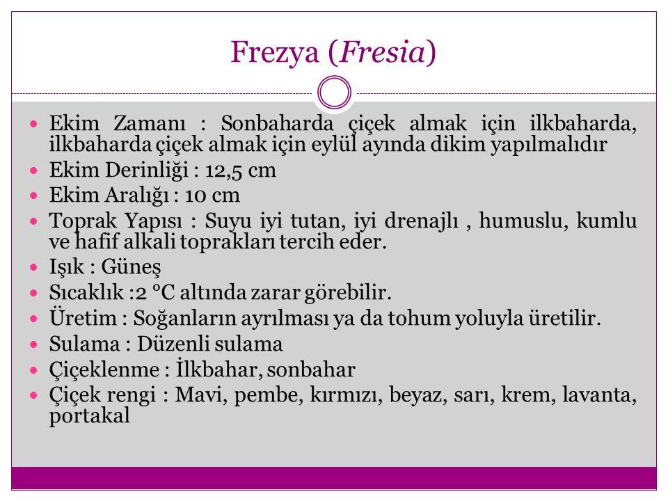 Frezya (Fresia) Ekim Zamanı : Sonbaharda çiçek almak için ilkbaharda, ilkbaharda çiçek almak için eylül ayında dikim yapılmalıdır.