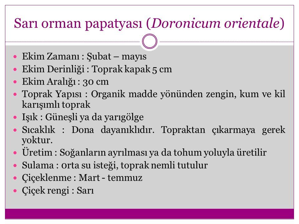 Sarı orman papatyası (Doronicum orientale)