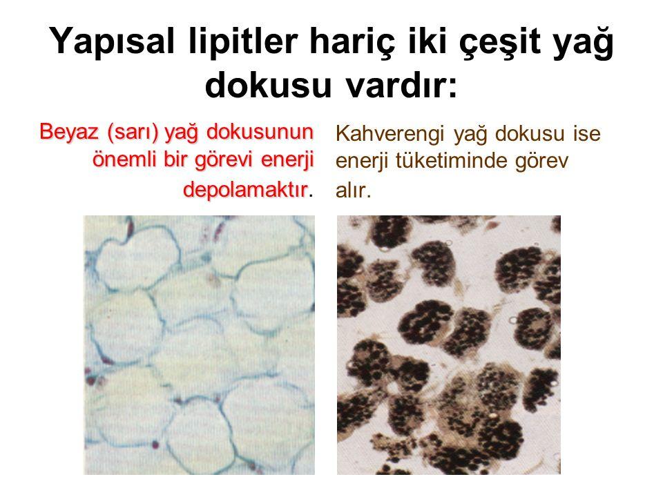 Yapısal lipitler hariç iki çeşit yağ dokusu vardır: