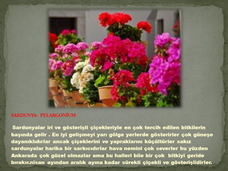 SARDUNYA- PELARGONİUM