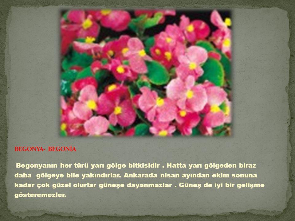 BEGONYA- BEGONİA