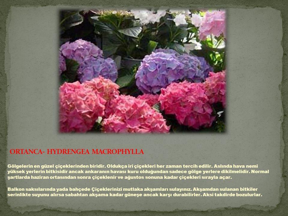 ORTANCA- HYDRENGEA MACROPHYLLA