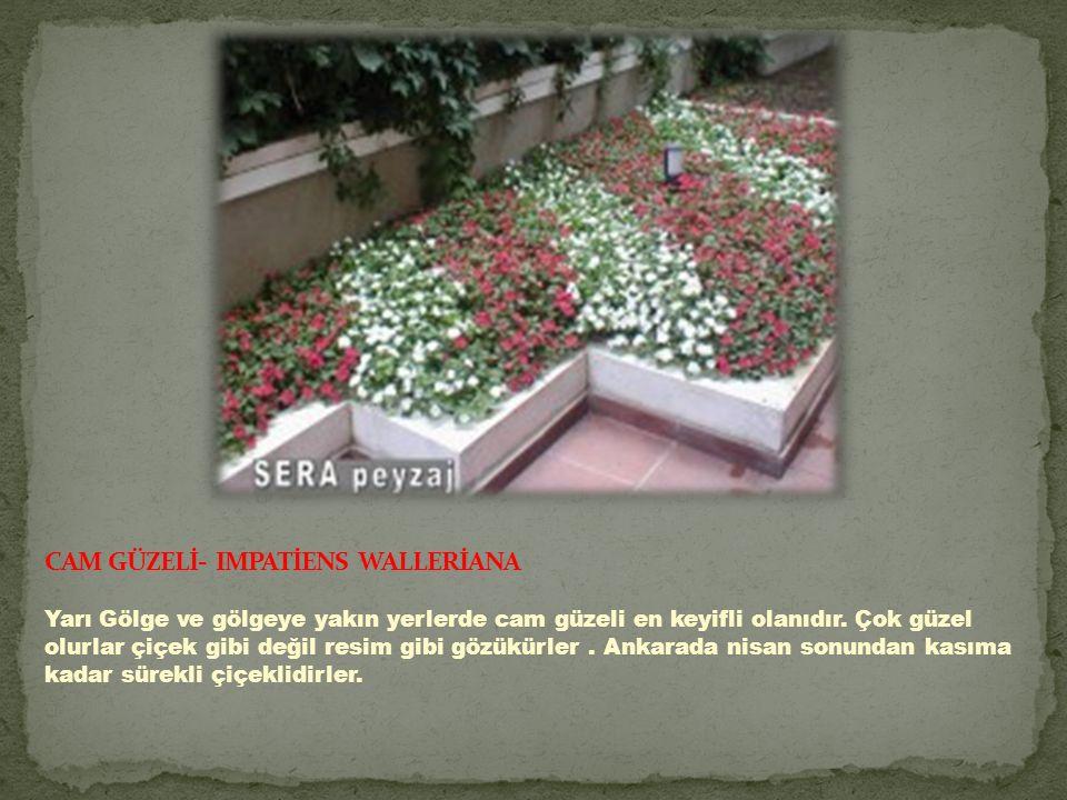 CAM GÜZELİ- IMPATİENS WALLERİANA