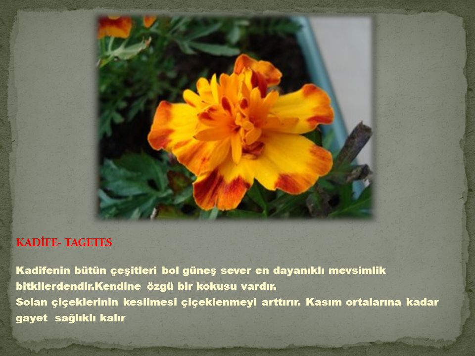 KADİFE- TAGETES