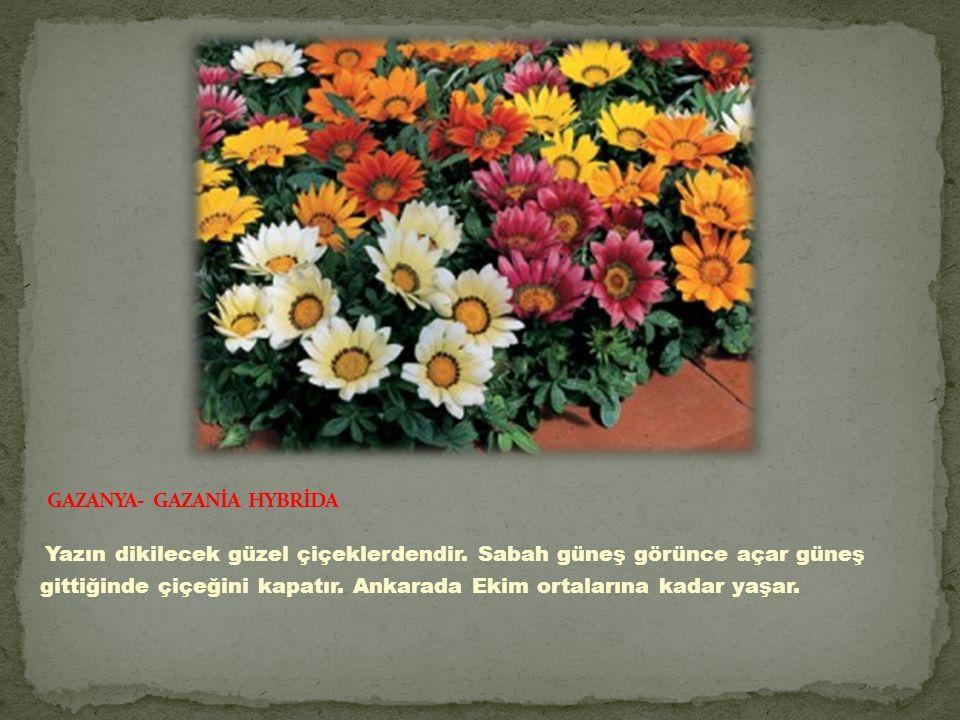 GAZANYA- GAZANİA HYBRİDA