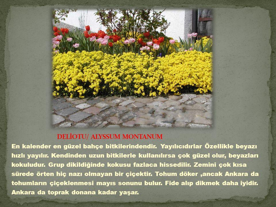 DELİOTU/ ALYSSUM MONTANUM