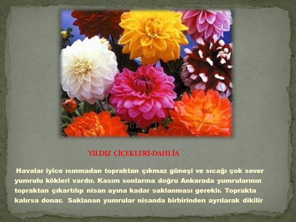 YILDIZ ÇİÇEKLERİ-DAHLİA