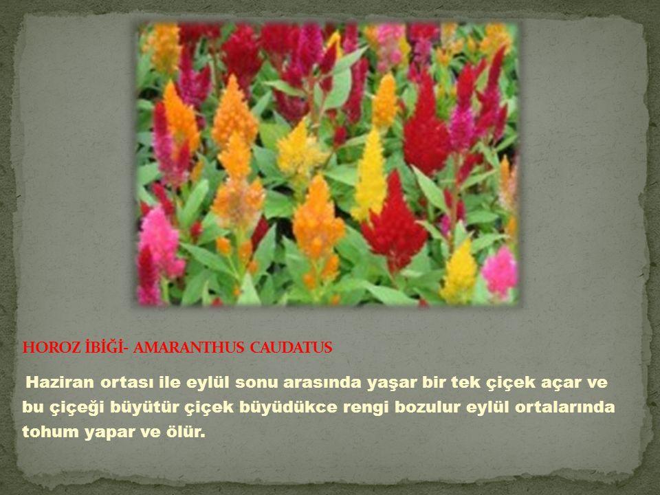 HOROZ İBİĞİ- AMARANTHUS CAUDATUS
