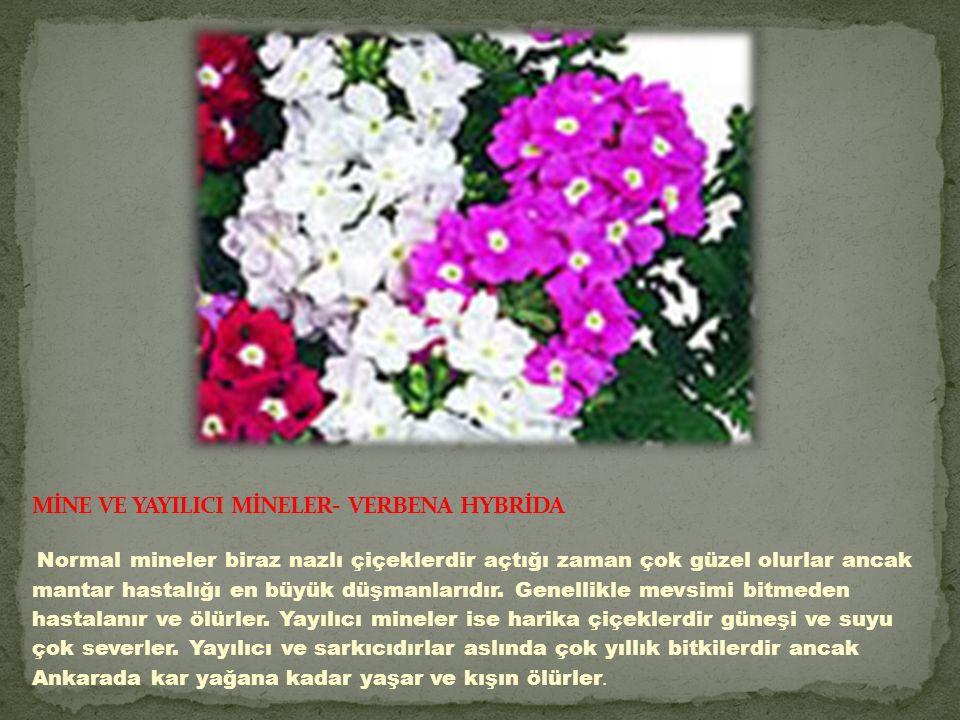 MİNE VE YAYILICI MİNELER- VERBENA HYBRİDA