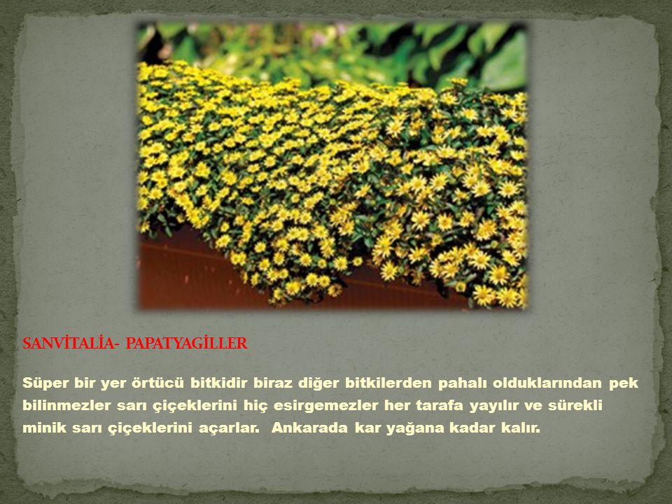 SANVİTALİA- PAPATYAGİLLER