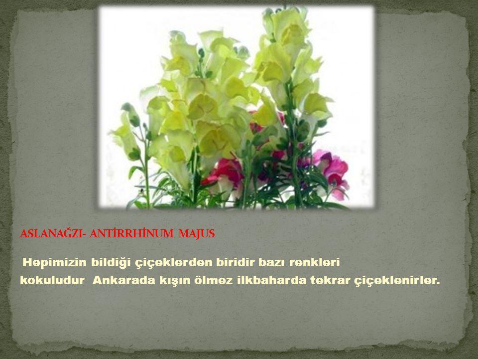 ASLANAĞZI- ANTİRRHİNUM MAJUS