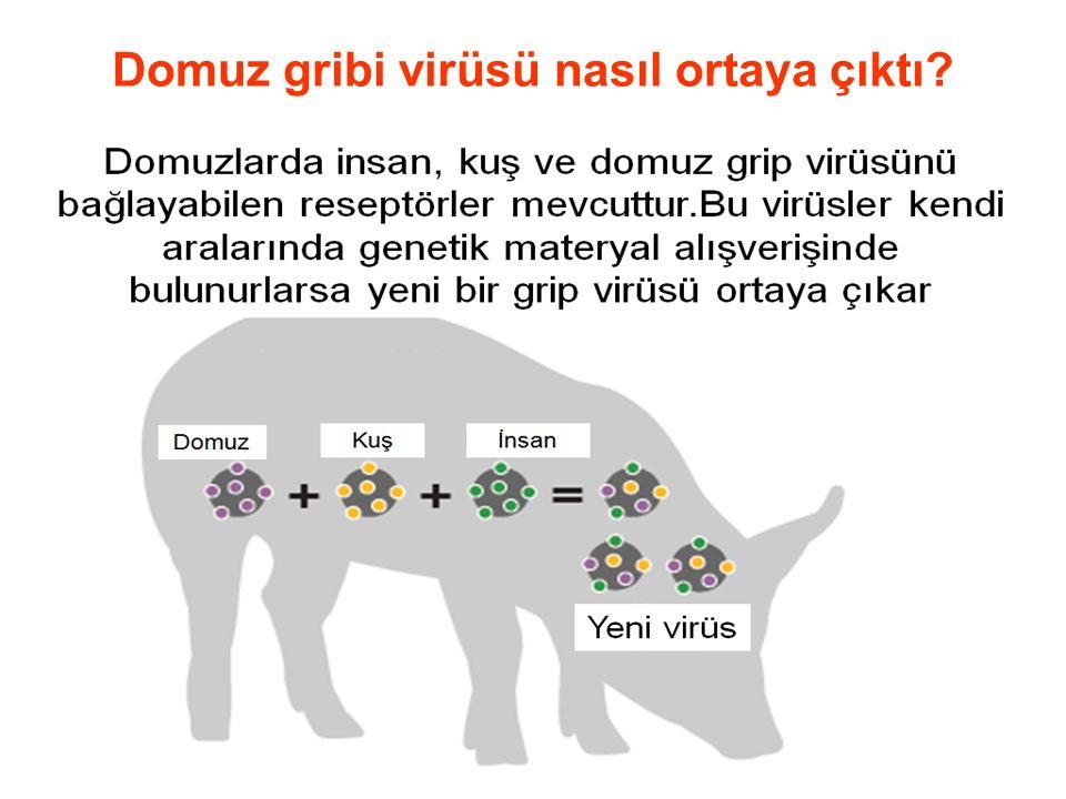 Domuz gribi virüsü nasıl ortaya çıktı