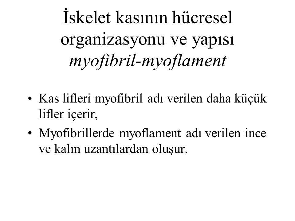 İskelet kasının hücresel organizasyonu ve yapısı myofibril-myoflament