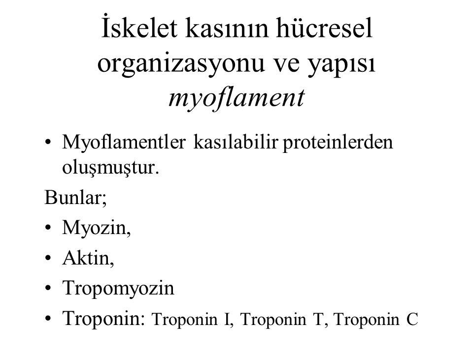 İskelet kasının hücresel organizasyonu ve yapısı myoflament