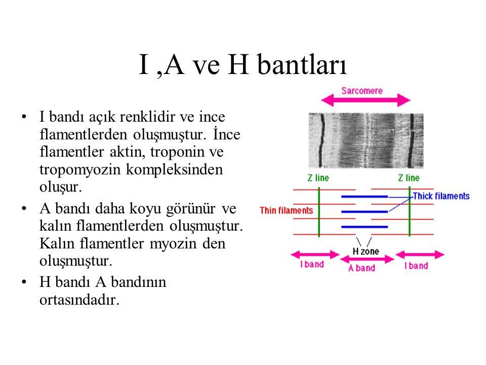 I ,A ve H bantları I bandı açık renklidir ve ince flamentlerden oluşmuştur. İnce flamentler aktin, troponin ve tropomyozin kompleksinden oluşur.