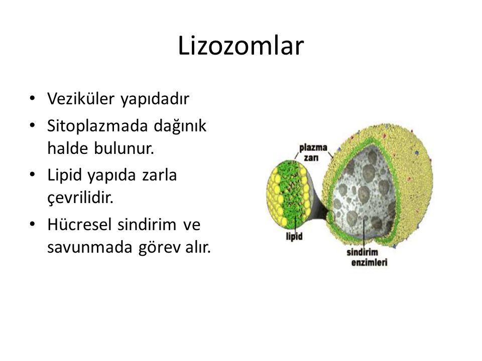 Lizozomlar Veziküler yapıdadır Sitoplazmada dağınık halde bulunur.